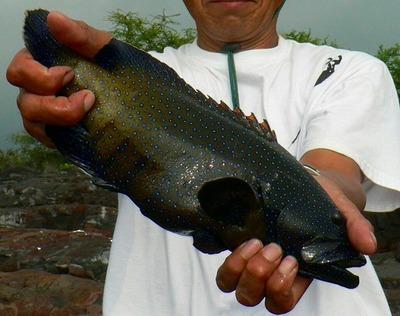 Roipeacock_grouper