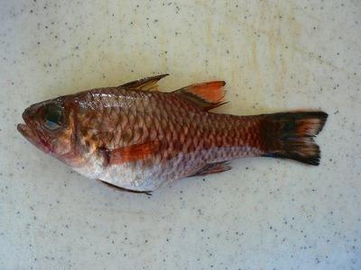 Cardinalfishbandfinupapalu
