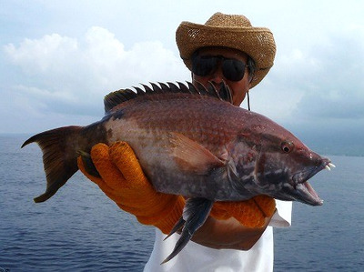 Hawaiian_hogfish20111121